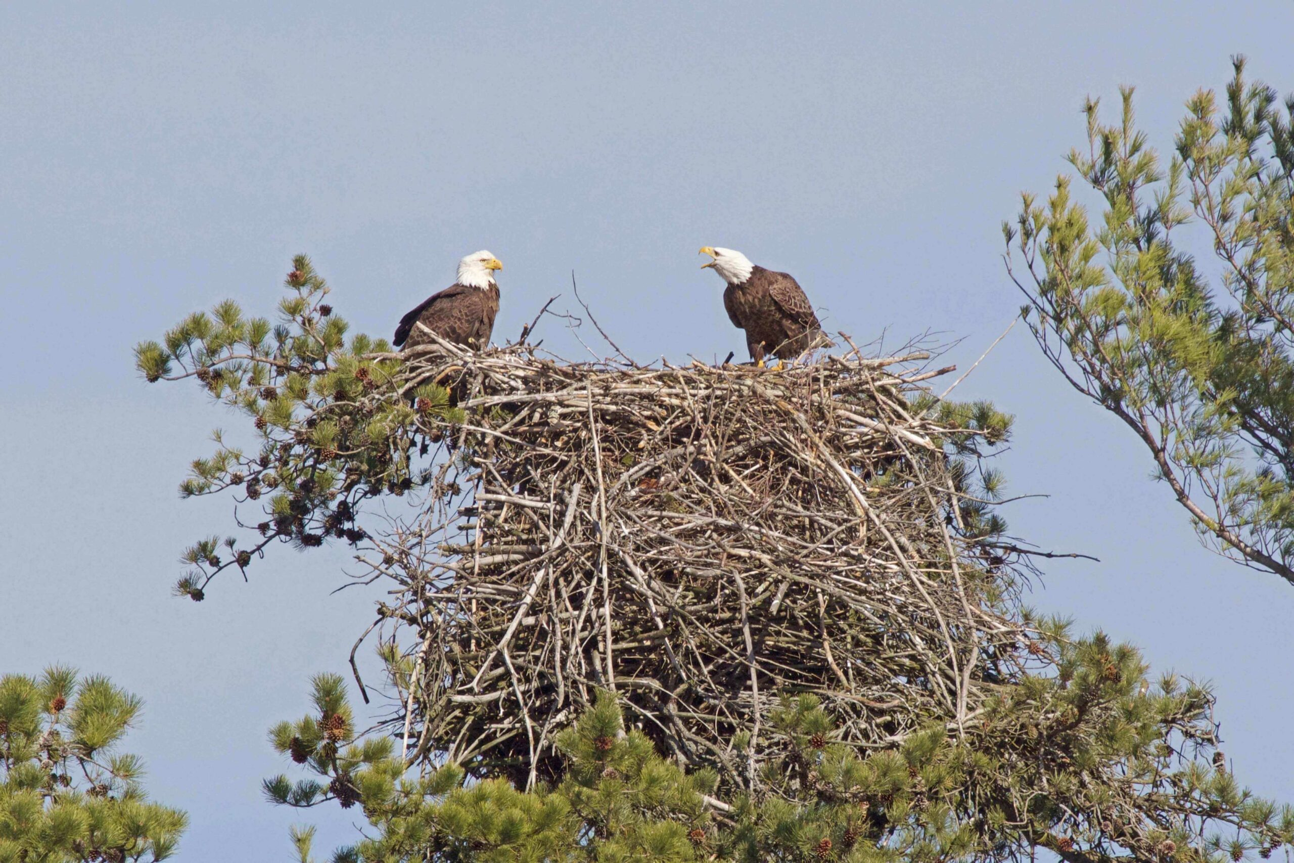 Bald eagles in a big nest